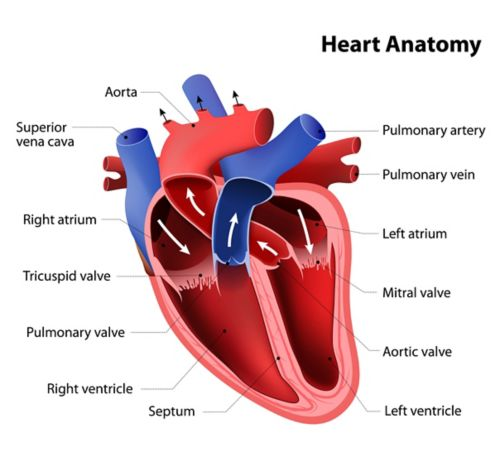 A graphic of an anatomical heart, colored red and blue, with labels for the aorta, superior vena cava, right atrium, tricuspid valve, pulmonary valve, right ventricle, septum, left ventricle, aortic valve, mitral valve, left atrium, pulmonary vein, and pulmonary artery.