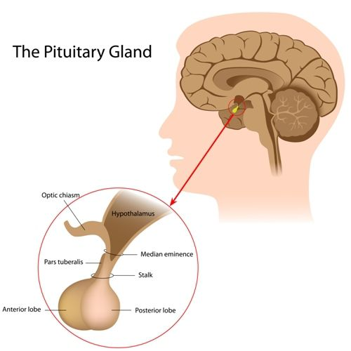 A graphic showing the pituitary gland's location in the brain. Labeled parts of the pituitary gland are the optic chasm, pars tuberalis, anterior lobe, posterior lobe, stalk, median eminence, and hypothalamus.