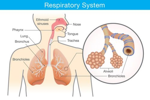 A graphic of the respiratory system showing labels for the nose, ethmoid sinuses, tongue, phaynx, trachea, lungs, bronchus, and bronchioles. A zoomed in graphic shows a closeup of the alveoli and bronchioles, which are labeled.