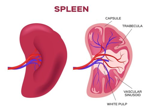 A graphic of the spleen, with the left view showing the outside and the right view showing a cross section. In the cross section, there are labels for the capsule, trabecula, vascular sinusoid, and white pulp.
