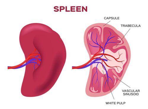 Illustration de la rate, avec la vue de gauche montrant une vue extérieure et la vue de droite montrant une coupe transversale. Dans la coupe transversale, la capsule, la trabécule, la sinusoïde vasculaire et la pulpe blanche sont identifiées.