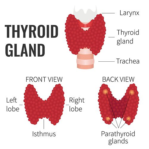 A graphic of the thyroid gland, in three versions. At the top is the thyroid gland shown on the trachea. On the bottom, there are two views showing the front (with labels for the left lobe, right lobe, and isthmus) and the back (with labels for four parathyroid glands).