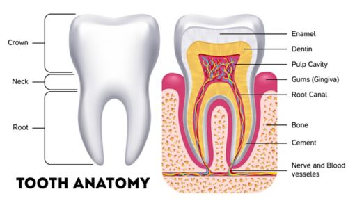 A graphic of two teeth. The tooth on the left shows the tooth's exterior, with labels for the crown, neck, and root. The tooth on the right shows the tooth's interior, with labels for the enamel, dentin, pulp cavity, gums, root canal, bone, cement, and nerves and blood vessels.