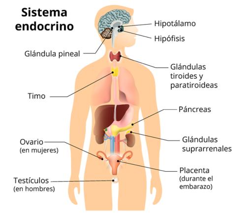 Un gráfico de la silueta de una persona que muestra el sistema endocrino. Las partes con etiquetas son las siguientes: glándula pineal, timo, ovarios (mujeres), testículos (en hombres), hipotálamo, hipófisis, tiroides y paratiroides, páncreas, glándulas suprarrenales y placenta (en mujeres).