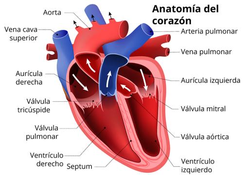 Una imagen de un corazón anatómico, de color rojo y azul, con etiquetas para la aorta, la vena cava superior, la aurícula derecha, la válvula tricúspide, la válvula pulmonar, el ventrículo derecho, el septum, el ventrículo izquierdo, la válvula aórtica, la válvula mitral, la aurícula derecha, la vena pulmonar y la arteria pulmonar.