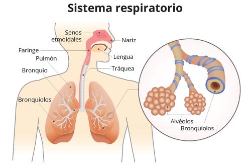 Un gráfico del sistema respiratorio con indicadores para la nariz, los senos etmoidales, la lengua, la faringe, la tráquea, los pulmones, el bronquio y los bronquiolos. Un gráfico, con aumento, muestra un primer plano de los alvéolos y los bronquiolos, con indicadores.