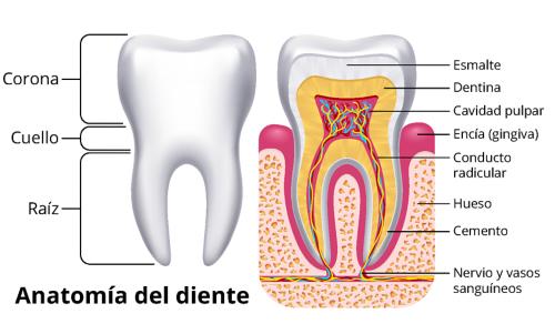Un gráfico de dos dientes. El diente a la izquierda muestra el exterior del diente, con etiquetas para la corona, el cuello dental y la raíz. El diente a la derecha muestra el interior del diente, con etiquetas para el esmalte, dentina, cavidad pulpar, encías, conducto radicular, hueso, cemento, y nervios y vasos sanguíneos.