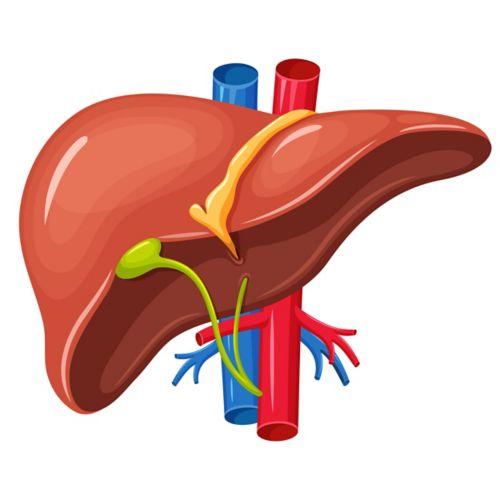 图中所示肝脏,呈三角形,顶部为黄色镰状韧带。