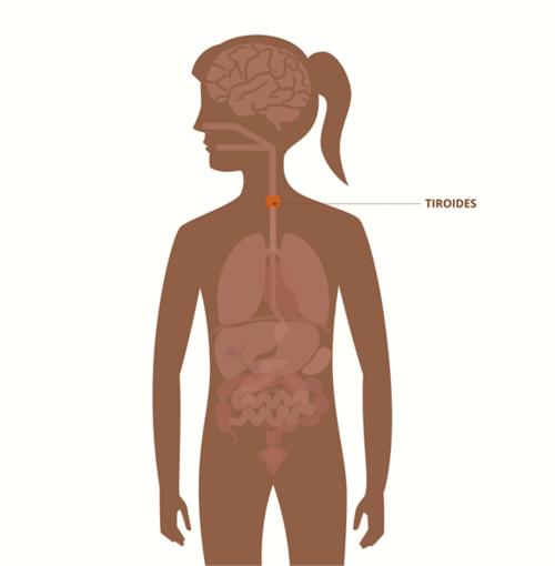 Gráfico del cuerpo de una mujer adulta que muestra la disposición de los órganos visibles; la glándula tiroides resaltada y etiquetada.