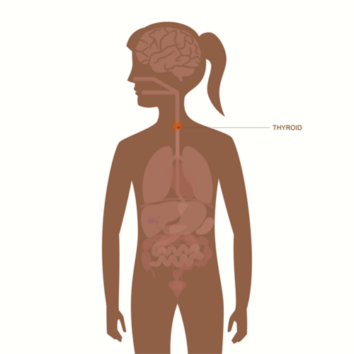 رسم توضيحي لجسم أنثى بالغة مع توضيح للأعضاء وتظليل الغدة الدرقية وتسميتها.