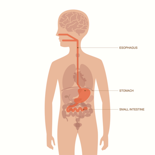 Graphic of an adult male body with layover of organs visible. Organs of the upper gastrointestinal tract are highlighted, including the esophagus, stomach, and small intestine.