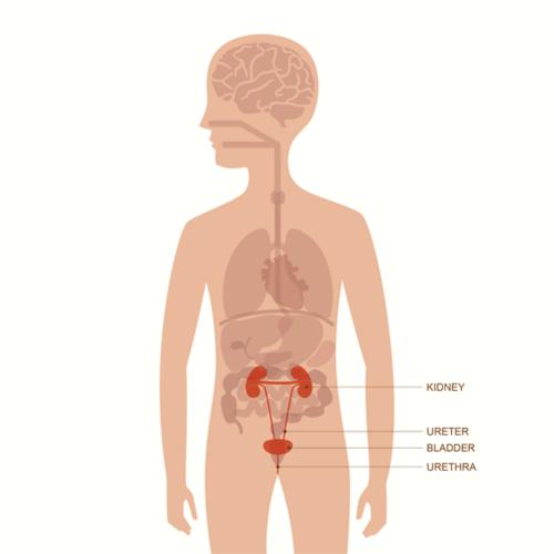Рисунок тела взрослого мужчины с расположением органов. Выделены органы мочевыводящих путей, включая почку, мочеточник, мочевой пузырь и уретру.